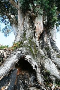 Eucalipto-  Lugar Novo Freg.: Ribas - Conc.: Celorico de Basto - Distrito: Braga