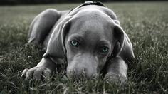 nature blue eyes animals gray grass dogs weimeraner  / 1920x1080 Wallpaper