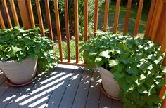 The Homestead Survival   Grow Sweet Potatoes In Containers   http://thehomesteadsurvival.com