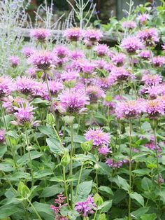 Rose-scented Wild Bergamot        Monarda fistulosa 'Rose' (sometimes sold as 'Sweet')        This native plant grows 2 to 3 feet tall and has tousled pink and purple flowers that attract hummingbirds and bees. The interesting clone in this photograph, rose-scented bergamot originated in Manitoba, Canada, and is high in geraniol, which gives it the scent of roses. The leaves and flowers make an excellent tea, both hot and cold.