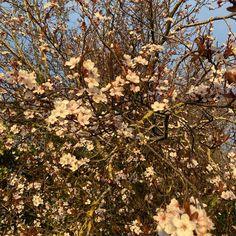 Cherry blossom spring explosion #dublincity #discoverdublin #spring #flowers #flowerstagram Explosions, Dublin, Christmas Tree, Holiday Decor, Plants, Instagram, Teal Christmas Tree, Xmas Trees, Plant