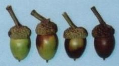 Acorn Information, Identification, Processing, and Recipes