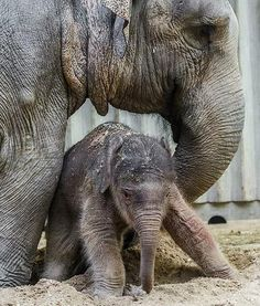 A mother helps her elephant calf stand on it's feet at the Prague Zoo in the Czech Republic. This is the first elephant calf born at the zoo in more than 80 years.