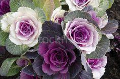 2197721_stock-photo-decorative-cabbage-brassica-oleracea-var-acephala-in-japan.jpg (600×397)