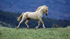 Cloud, a stallion living wild and free in the Pryor Mountain Range of Montana