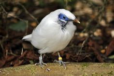 """"""" Bali myna: Maybe the world's rarest bird. """"Harewood House is home to one of the worlds' rarest birds. This spectacular starling is the national bird of Bali and has never been. Rare Birds, Starling, Bird Species, Bird Houses, Animal Kingdom, Google Images, Bali, Exotic, Creatures"""