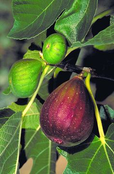Brown Turkey Fig produces especially tasty, brownish-purple fruit twice each year: late spring and late summer. Makes a beautiful specimen for garden or landscape with light annual pruning. Deciduous. Reaches up to 25 ft. tall and wide. Zone: 7 – 9