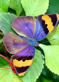 A Beautiful Gold Banded Forester Butterfly by April Wietrecki Green Butterfly Kisses, Butterfly Flowers, Blue Butterfly, Butterfly Wings, Mariposa Butterfly, Flying Flowers, Flowers Nature, Beautiful Creatures, Animals Beautiful