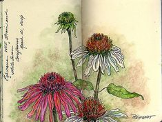 Sketch Book Coneflower Study❤ Original Art by ©Kathleen Pequignot - Water soluble pen and watercolor pencils in my small Moleskine. Watercolor Journal, Pen And Watercolor, Watercolor Flowers, Watercolor Paintings, Drawing Flowers, Painting Flowers, Watercolor Pencils, Daisy Drawing, Flower Drawings