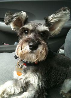 Tipto is a mini Schnauzers that is so cute