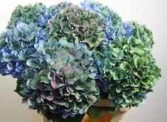antique blue hydrangea