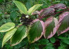 Variegated red-twigged dogwood (Cornus sericea 'Hedgerows Gold'    In spring, vertical golden buds appear on vibrant crimson stems. In summer, creamy white and green variegated foliage and flat white heads of flowers. In autumn, the variegated leaves take on a rosy pinkish-red cast before turning fire-engine red and dropping. The white fruit really start to show up in fall, too, on red stems that soon turn black. Winter, vibrant red stems