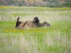 Buffalo, Wichita Mountains National Wildlife Refuge, Oklahoma..chased my friends & I out of a swimming hole..1st time THAT ever happened to this CT grown girl