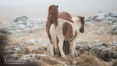Goats, Camel, Animals, Iceland Landscape, Animales, Animaux, Camels, Animal, Animais