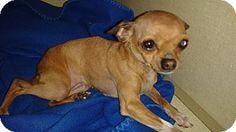 Dallas, TX - Chihuahua Mix. Meet Lulla Belle, a dog for adoption. http://www.adoptapet.com/pet/10514663-dallas-texas-chihuahua-mix