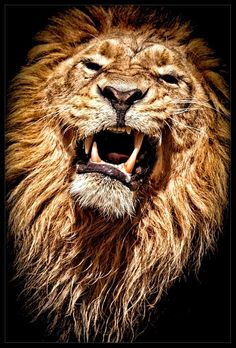The King by René Unger lion Lion Images, Lion Pictures, Beautiful Cats, Animals Beautiful, Beautiful Pictures, Big Cats, Cool Cats, Regard Animal, Gato Grande