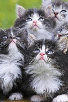 Persian Kittens, Cat, Animal, Cute
