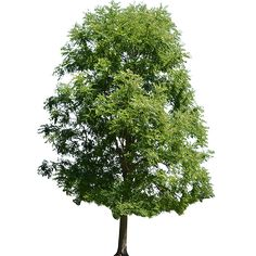 A cutout maple tree that has grown tall and is at it's peak of greenness in the summer.