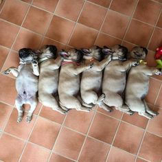 French Bulldog Puppy Pileup, See this Instagram photo by @frenchie.world • 8,816 likes