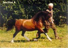 So gorgeous! Welsh Pony, Horses, Cob, Animals, Animales, Animaux, Animal, Animais, Horse