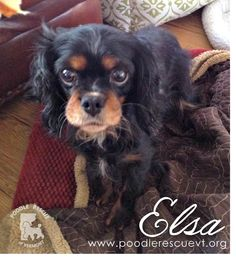 Elsa is a spayed female Cavalier King Charles Spaniel who is eight years old. Her foster mom reports that she's a very shy, sweet girl.  Elsa was abandoned by a backyard breeder, so she will need some time to adjust once she finds her forever home. Elsa would like an experienced family who is willing to work with her on house-training and leash training. If you're interested in adopting Elsa, please fill out an application here: http://fs2.formsite.com/PRVT/form2/index.html