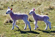 Two young lambs at Saligo, Isle of Islay