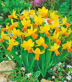 Jet Fire Small Cup Daffodil