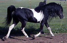 American Shetland Pony | American shetland pony -Black pinto (19) | Flickr - Photo Sharing!