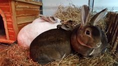A healthy hay-rich diet is the best preventative of many painful and sometimes fatal health problems in rabbits, such as gut stasis, dental spurs, abscesses, and flystrike. This is why your rabbits' diet should be made up of 85% fresh hay. If you rabbits lose their appetite, it could be a sign that they are feeling unwell, so keep an eye on how much they are eating. Rabbit Diet, Rabbit Eating, Pet Rabbit, Bunny Rabbits, Health And Wellbeing, Cute Photos, Health Problems, Safe Food, Dental