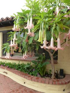 Brugmansia/ Pink Going in Ground For the front