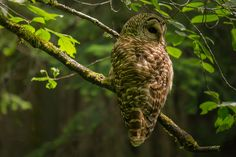 Barred Owl in Whatcom Falls Park, Bellingham, WA  Photo by Ann McMillan Chaikin