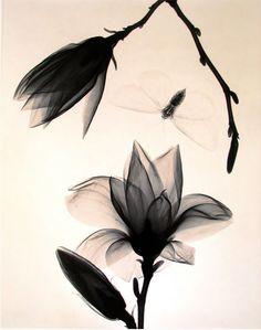 Judith McMillan. Magnolia Blossoms