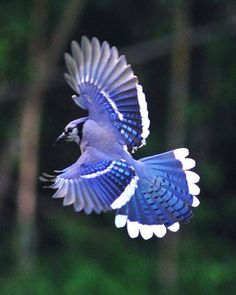 A beautiful Blue Jay in flight.