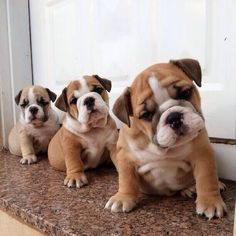 Bull dog puppies!! Just look at these faces!