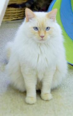 Check out Yukon's profile on AllPaws.com and help him get adopted! Yukon is an adorable Cat that needs a new home. https://www.allpaws.com/adopt-a-cat/domestic-medium-hair-mix-himalayan/2200394?social_ref=pinterest