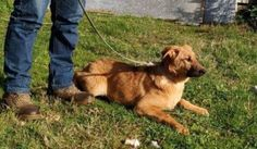 Spanish Mastin Dogs for Adoption and Rescue Rescue Dogs, Spanish, Adoption, Animals, Foster Care Adoption, Animales, Animaux, Spanish Language, Animal