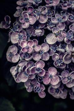 039-001 by mellow-stuff mie    Via Flickr: Hydrangea