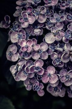 039-001 by mellow-stuff mie    	Via Flickr: 	Hydrangea