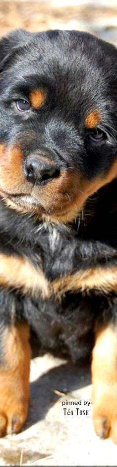 ❈Téa Tosh❈ Rottweilers are my favourite dogs.