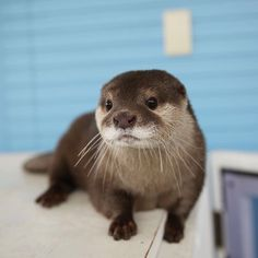 More otter adorableness
