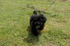 Female Yorkie-Poo Puppy Yorkie Poo Puppies, Dogs And Puppies, Female, Animals, Animales, Animaux, Animal, Animais