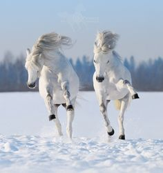 Gorgeous Horses Running in Snow