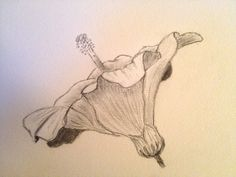 Hibiscus. Pencil on paper. 14x14 cm. Copyright Sandy Rosenvinge Lundbye.