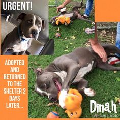 HELP FOR PRECIOUS DINAH!!! San Bernardino, CA  URGENT! Shelter FULL.They can starts killing dogs Anytime. The worse thing could had happened to Dinah.  Dinah is a playful & happy dog, very affectionate... sadly, She didn't have chance to seattle down. HURRY!!! Female, gray & white Pit Bull Terrier mix about 2 yrs old.  https://www.facebook.com/649241055113967/photos/a.754881631216575.1073741838.649241055113967/981065335264869/?type=1