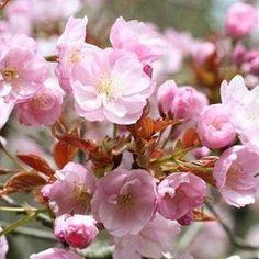 【nasakura.japan】さんのInstagramをピンしています。 《【ムサラキサクラ(紫桜):日本の桜シリーズ53】 サトザクラの栽培品種です。 花弁が丸く大きく雄しべが目立ちます。名前の通り花の色が薄い紅紫で、一本の木に花弁が5枚から10枚程度までの花を咲かせます。  紫色の桜があるなんて! 驚きですね。 見つけたら教えてくださいね。 🌸  Japanese Beauty in Daily Life ♡日本の日常の美を伝える #675  奈奈より♡ Photo : Webサイトより ムラサキサクラ ☆.。.:*・°☆.。.:*・°☆.。.:*・°☆.。.:*・°☆ 🌸クラウドファンディング第2弾 ! 桜をテーマとした和コスメを世界へ発信! ⇒ https://www.makuake.com/project/nasakura02/ ★奈桜 NasakuraのFacebookページです。 「いいね」いただけましたら嬉しいです。 ⇒ https://www.facebook.com/nasakura.japan ★Facebook非公開グループ…