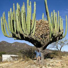 Giant Cactus, Oaxaca, Mexico by Marie-Marthe Gagnon, via Flickr