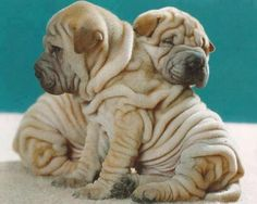 Shar pei. So much squishiness and wrinkles!