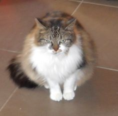Liselotje my Maine Coon cat