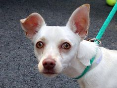 TO BE DESTROYED 7/18/14 Manhattan Center -P  My name is LYCHEE. My Animal ID # is A1006320. I am a male cream and red chihuahua sh mix. The shelter thinks I am about 2 YEARS   I came in the shelter as a STRAY on 07/11/2014 from NY 10035, owner surrender reason stated was STRAY. https://www.facebook.com/photo.php?fbid=839051856107695&set=a.611290788883804.1073741851.152876678058553&type=3&theater