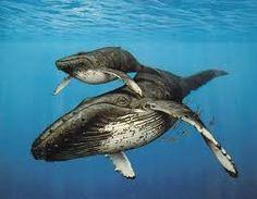 see humpback whales in puerto lopez manabi  http://ecuadorlivingparadise.blogspot.com/2012/11/a-few-reasons-why-you-should-choose_8.html